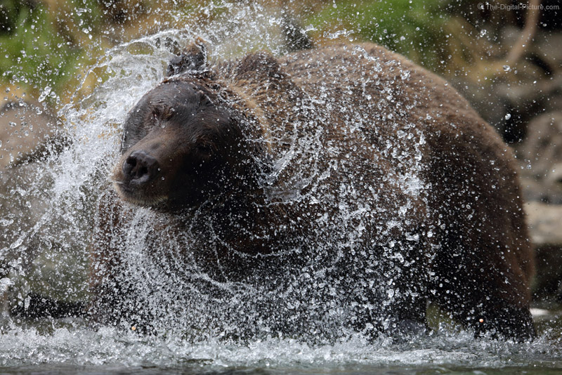Shaking Brown Bear, Katmai National Park, Alaska