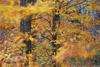 Beech Tree Leaves in the Wind