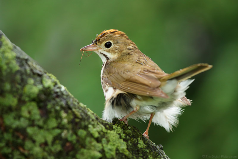 Ovenbird with Ruffled Feathers