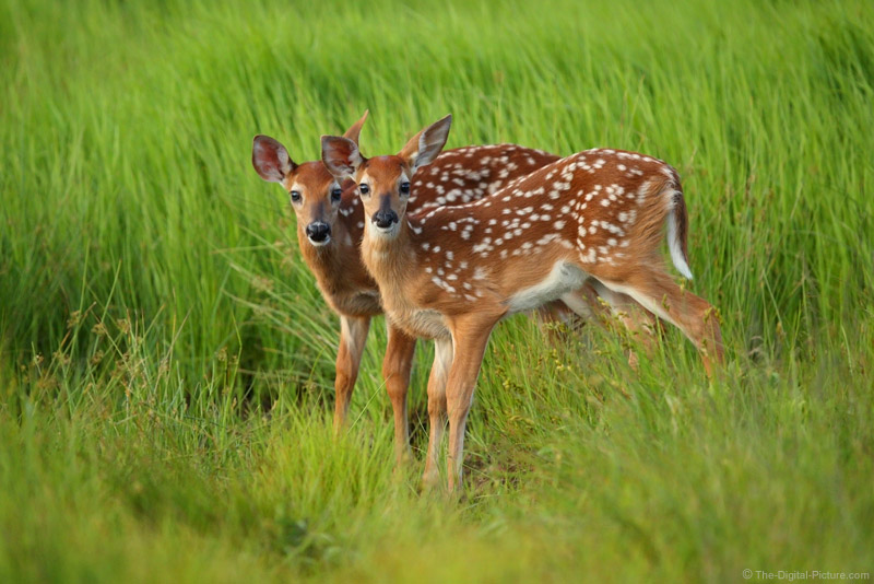 Going with Me to Photograph Fawns in Shenandoah National Park?