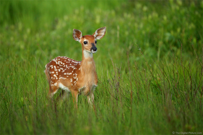 Alert Whitetail Fawn, Shenandoah National Park