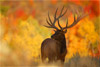 Huge Bull Elk and Fall Foliage