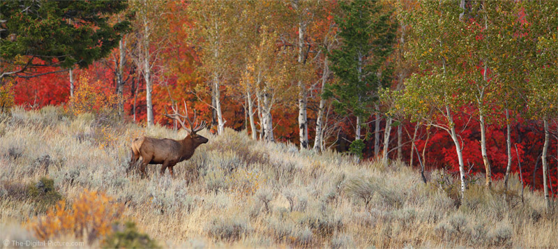 Bull Elk in Idaho Fall Setting