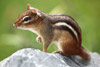 Chipmunk Sitting on a Rock