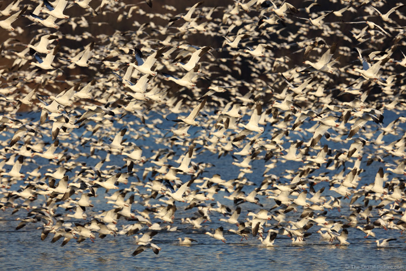 How to Photograph a Flock of Flying Snow Geese