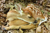 Adorable Sleeping White-tailed Deer Fawn