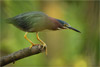 Capturing the Little Green Heron