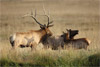 Elk Family Interaction in Rocky Mountain National Park