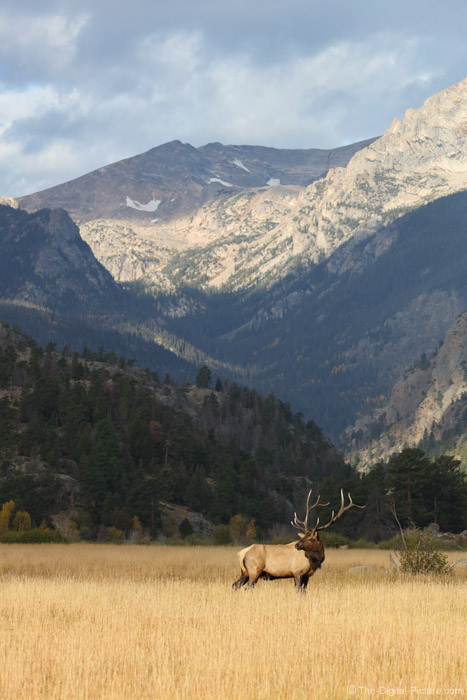 Bull Elk and Rocky Mountains