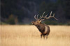 Alone in the Meadow, Bull Elk, Rocky Mountain National Park