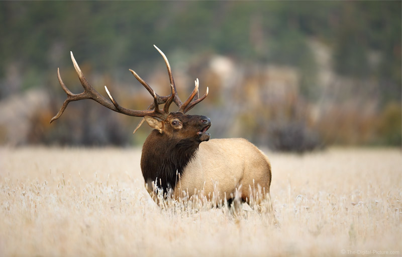 Bugling Elk in the Frost, Rocky Mountain National Park