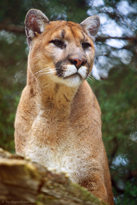 Tips for Photographing Through a Fence, Mountain Lion, ZooAmerica