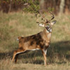 Whitetail Buck Wrapping a Pine Branch Around Its Face, Shenandoah National Park