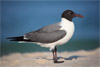 Laughing Gull, Island Beach State Park