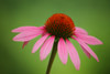 Pink Coneflower with the Canon EF 70-200mm f/4L IS II USM Lens