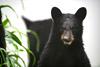 Black Bear Cub with an Awkward Smile