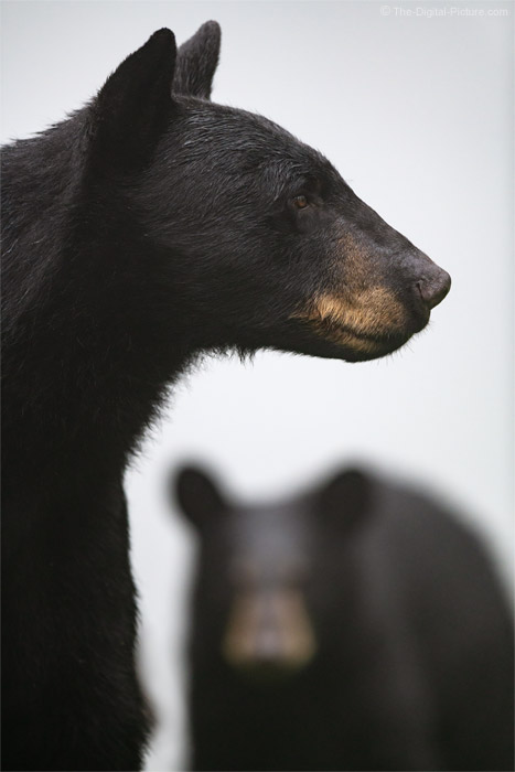 The Juxtaposition of Black Bears, Pennsylvania