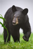 Cute Black Bear Cub in the Fog