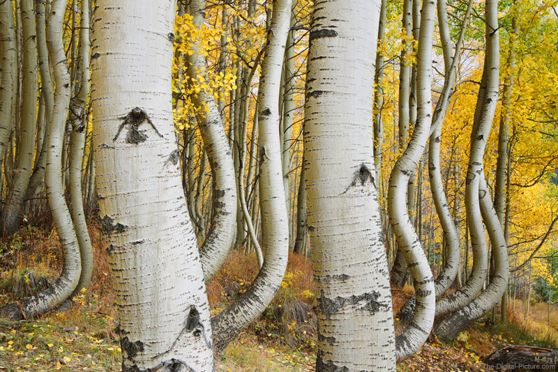 Canon EOS R, RF 50mm f/1.2L and Curved Aspen Trees of Ophir, Colorado
