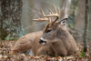 Bedded Whitetail Buck Looking Cute, Shenandoah National Park