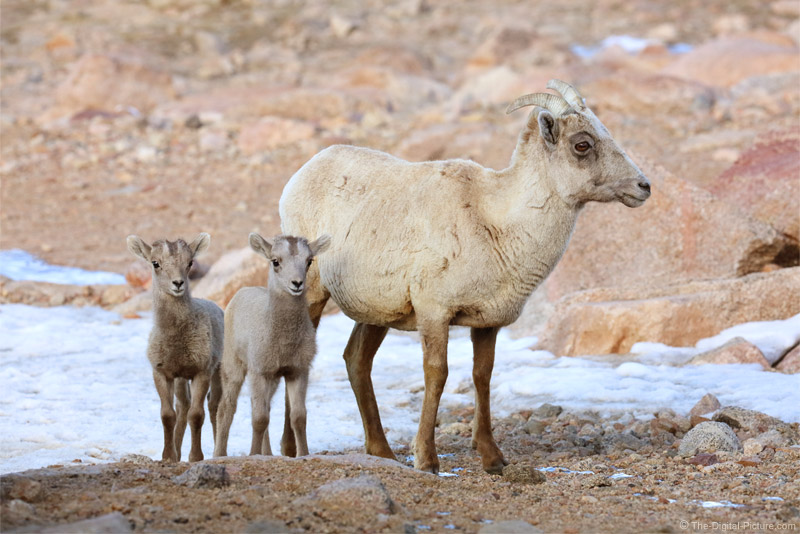 Baby Bighorn Sheep are Adorable, Mount Evans