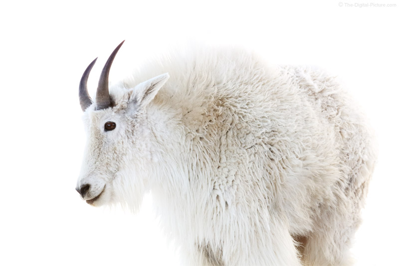 Canon EF 100-400mm L IS II USM Lens Captures High Key Mountain Goat, Mount Evans, Colorado