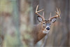 Whitetail Buck in the Forest, Shenandoah National Park