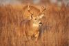 High-Stepping Whitetail Buck, Shenandoah National Park