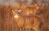 Lip Curl, Whitetail Buck, Shenandoah National Park