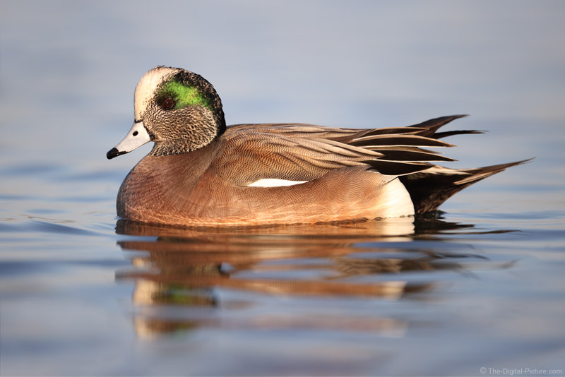 American Widgeon Captured by the Canon EOS-1D X Mark III