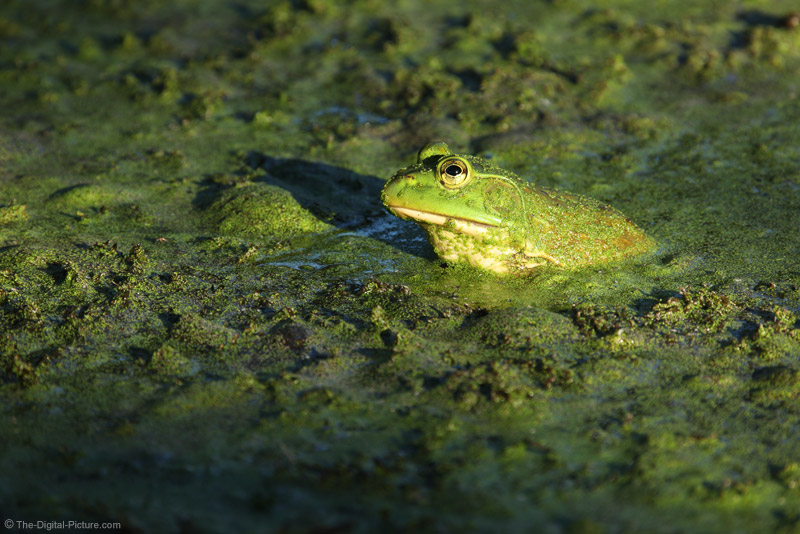 Super Telephoto Lenses Affordable Enough for Just Frog Photography