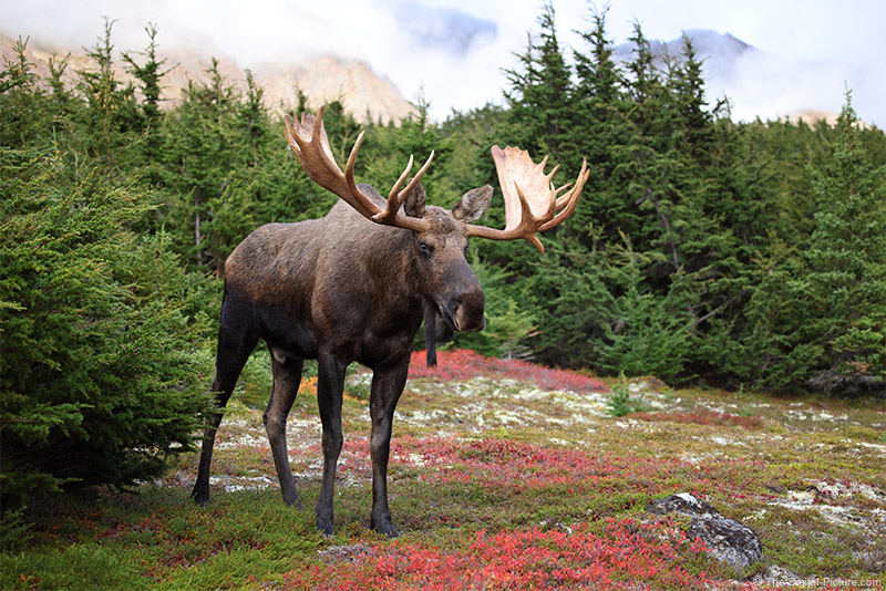 Giant Bull Moose Environmental Portrait, Alaska
