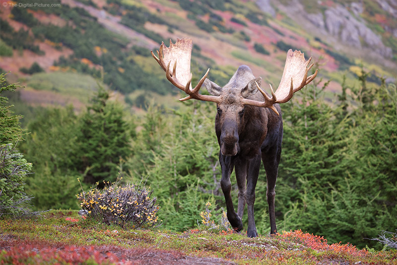 Run and Gun with the Canon EOS R5 and RF 100-500, Incoming Bull Moose, Alaska