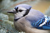 Blue Jay Close Encounter